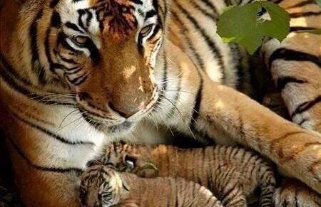 »Bojna pesem mame tigrice«
